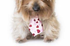 Perro mullido con un lazo de los corazones que escucha Foto de archivo libre de regalías