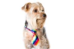 Perro mullido con un lazo del arco iris Imagen de archivo