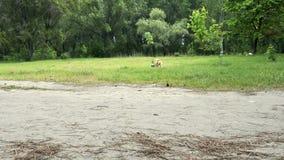 Perro mullido del corgi divertido que juega con la bola almacen de metraje de vídeo