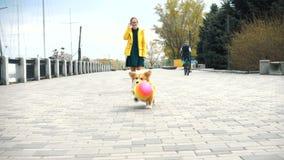 Perro mullido del corgi divertido que juega con la bola al aire libre metrajes