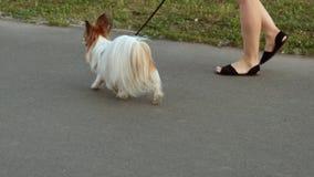 Perro mullido en un paseo almacen de metraje de vídeo