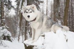 Perro mullido lindo en perro esquimal del bosque del invierno Imagenes de archivo
