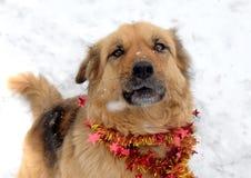 Perro mullido muy lindo en la guirnalda que lleva de la nieve, año de la Navidad del perro Foto de archivo