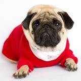 Perro muy lindo del barro amasado en un vestido rojo del ` s del Año Nuevo Mirada con ey triste Imágenes de archivo libres de regalías