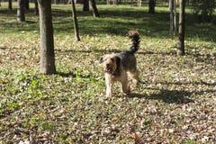 Perro muy rizado que camina a través de parque Foto de archivo libre de regalías