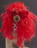 Perro muy rojo Imagen de archivo libre de regalías