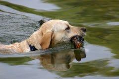 Perro nadador Foto de archivo libre de regalías