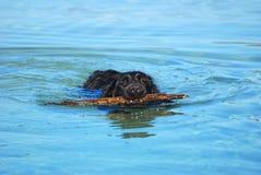 Perro nadador que extrae el palillo Fotografía de archivo