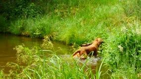Perro nadador que recupera la rama de madera Natación joven del perro del golden retriever almacen de video