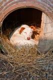 Perro narcotizado encrespado para arriba en su cama Imagen de archivo