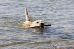Perro - natación Fotografía de archivo