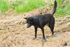 Perro negro Imágenes de archivo libres de regalías