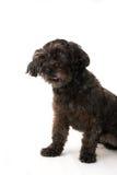 Perro negro Fotografía de archivo