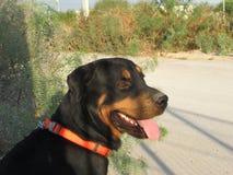 Perro negro Fotos de archivo libres de regalías