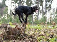 Perro negro Amy del perro callejero hermoso que equilibra en tocón imagen de archivo libre de regalías