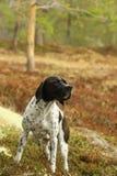 perro Negro-blanco del indicador Imágenes de archivo libres de regalías