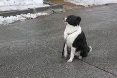 perro Negro-blanco que se sienta en sus piernas traseras en el asfalto 30347 Imagen de archivo libre de regalías