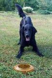 Perro negro con el disco volador Imagenes de archivo