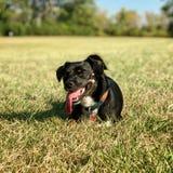 Perro negro con la lengua que holgazanea hacia fuera imagen de archivo libre de regalías