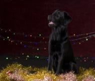 Perro negro con los apoyos de la Navidad imagen de archivo libre de regalías