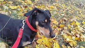 Perro negro con un cuello rojo en un fondo de hojas amarillas almacen de metraje de vídeo