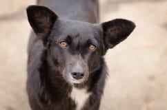 Perro negro con una mirada profunda Imagen de archivo libre de regalías