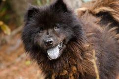 Perro negro de Chow Chow Fotografía de archivo