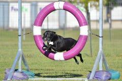 Perro negro de la Mezclado-raza en el ensayo de la agilidad imagen de archivo