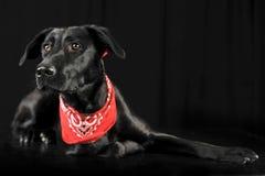 Perro negro de la raza mezclada en la bufanda roja que miente en photostudio oscuro fotos de archivo