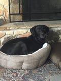 Perro negro de Labrador en cama Fotos de archivo