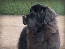Perro negro de Terranova de la extra grande que se coloca que parece derecho Fotos de archivo