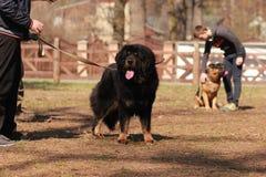 Perro negro de Terranova en la lección del entrenamiento Fotos de archivo