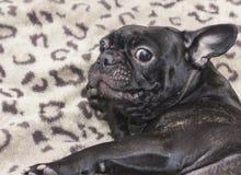 Perro negro del dogo francés que se sienta en el sofá que mira con asombro Imágenes de archivo libres de regalías