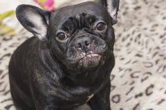 Perro negro del dogo francés que se sienta en el sofá que parece triste Imagen de archivo libre de regalías