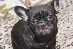 Perro negro del dogo francés que se sienta en el sofá que parece triste Imágenes de archivo libres de regalías