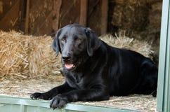 Perro negro del labrador retriever en Hay Barn fotos de archivo libres de regalías
