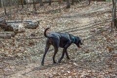 Perro negro del labrador retriever que camina abajo de un rastro Imágenes de archivo libres de regalías