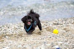 Perro negro del pekin?s en la playa imágenes de archivo libres de regalías