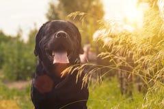 Perro negro del perro perdiguero de Labrador Fotografía de archivo