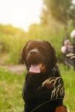 Perro negro del perro perdiguero de Labrador Fotografía de archivo libre de regalías