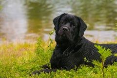 Perro negro del perro perdiguero de Labrador Fotos de archivo