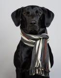 Perro negro del perro perdiguero de Labrador Fotos de archivo libres de regalías
