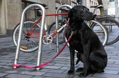 Perro negro del perro perdiguero de Labrador Imagen de archivo