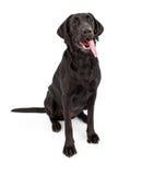 Perro negro del perro perdiguero de Labrador con la lengüeta hacia fuera Fotografía de archivo libre de regalías