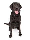 Perro negro del perro perdiguero de Labrador Drooling Imagenes de archivo