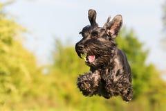 Perro negro del schnauzer estándar que vuela foto de archivo libre de regalías