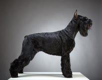 Perro negro del Schnauzer gigante Fotos de archivo