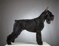 Perro negro del Schnauzer gigante Fotografía de archivo