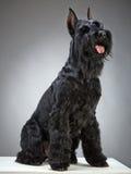 Perro negro del Schnauzer gigante Fotos de archivo libres de regalías