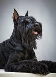 Perro negro del Schnauzer gigante Foto de archivo